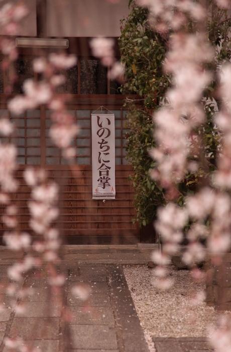 桜 (460x700).jpg
